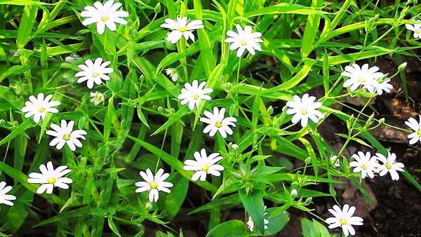мокрица трава лечебные свойства фото