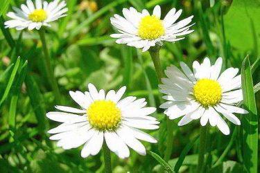 мокрица трава лечение суставов