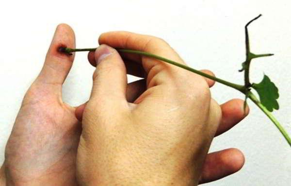 чистотел применение в народной медицине онкология
