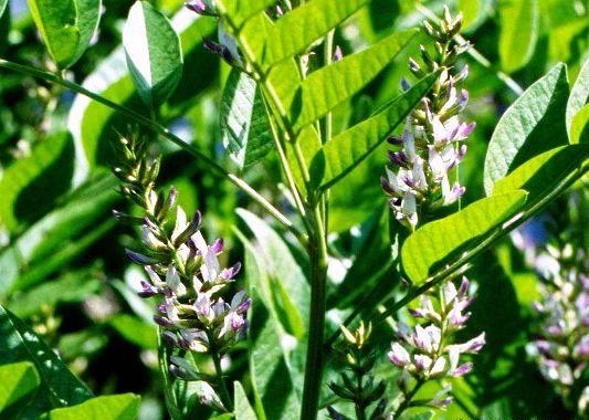 солодка растение где растет