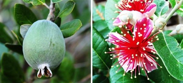 зеленый фрукт фейхойа