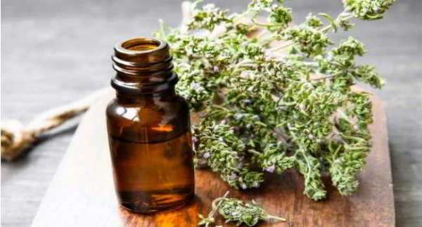 тимьян ползучий лечебные свойства