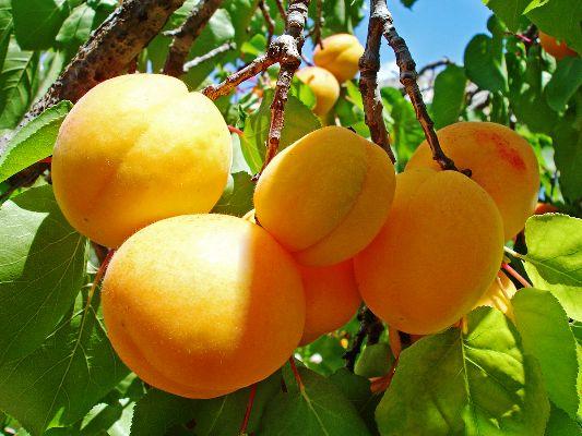 плоды абрикоса фото