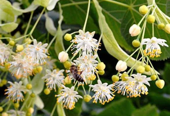 цветы липы липовый цвет свойства