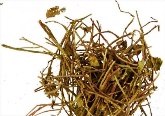 pobegi-cherniki-poleznye-svojstva-i-protivopokazaniya