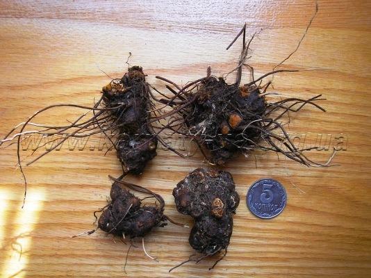 калган корень лечебные свойства и противопоказания настойка