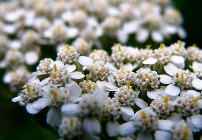 цветки тысячелистника полезные свойства