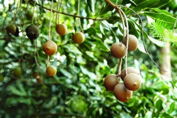 так выглядит дерево макадамия