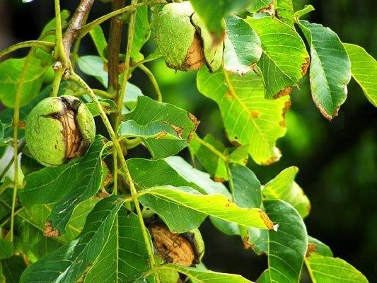 грецкий орех лечебные свойва