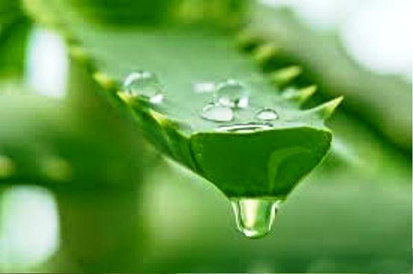 сок растения алоэ