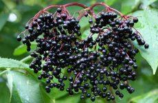 Черная бузина. Лечебные свойства и противопоказания, фото, рецепты