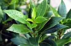 Лавровый лист: лечебные свойства и противопоказания, рецепты