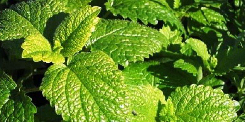 Мелисса: лечебные свойства травы и противопоказания к применению