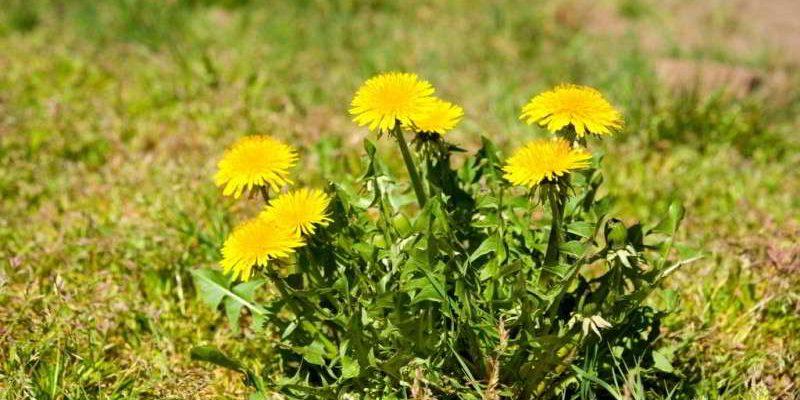 Одуванчик: лечебные свойства и противопоказания