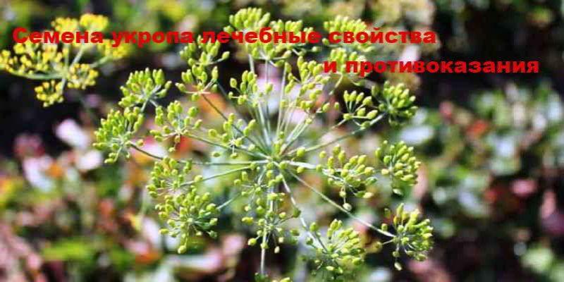 Семена укропа, их лечебные свойства и противопоказания