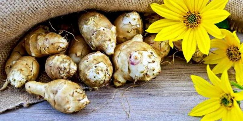 Топинамбур — состав, полезные свойства цветков и листьев, противопоказания