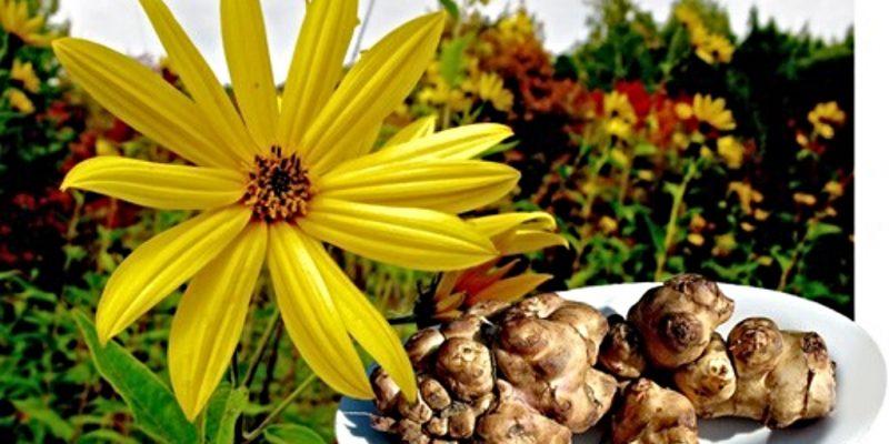 Топинамбур: лечебные свойства и противопоказания