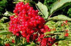 Лечебные свойства и противопоказания бузины красной применение