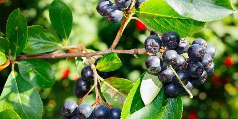 Рецепты приготовления настойки из черноплодной рябины на водке, самогонке, спирту