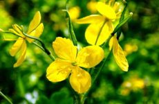 Чистотел: лечебные свойства и противопоказания эффективные рецепты