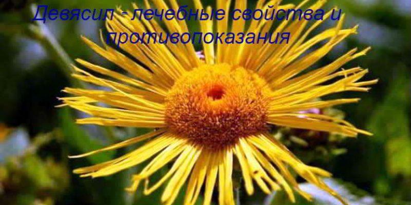 Девясил – лечебные свойства, противопоказания, применение, отзывы