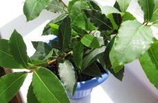 Как вырастить лавровый лист (дерево) в домашних условиях