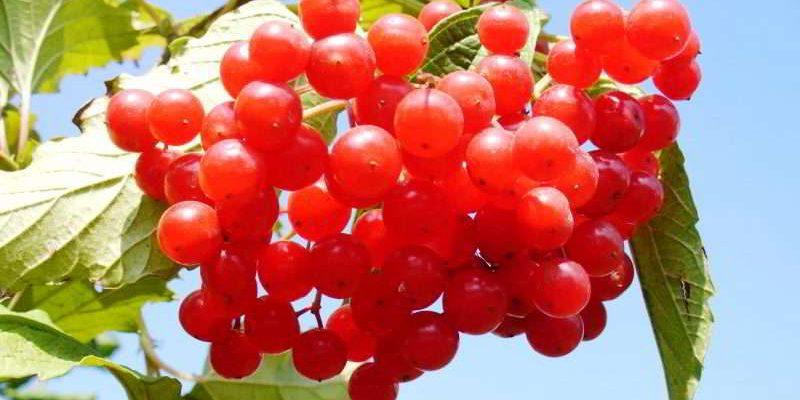 Калина красная – полезные свойства, противопоказания, рецепты