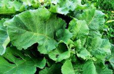 Листья лопуха: лечебные свойства, противопоказания, применение