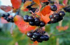 Черноплодная рябина: заготовки на зиму различные способы и рецепты