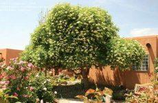 Бузина растение, описание, виды, где растёт, посадка и уход, целебные свойства