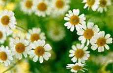 Ромашка аптечная: лечебные свойства для женщин, детей, мужчин