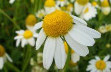 Ромашка аптечная: лечебные и полезные свойства, противопоказания