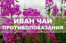 Иван-чай: противопоказания к применению, вред и побочные эффекты