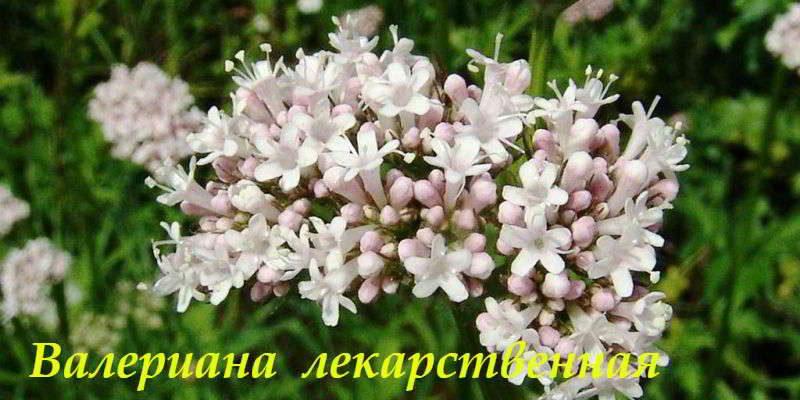 Валериана лекарственная: описание, состав, лечебные свойства