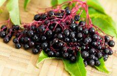 Лечебные свойства бузины чёрной народные рецепты, противопоказания