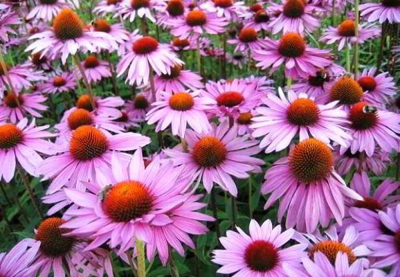 эхинацея цветок