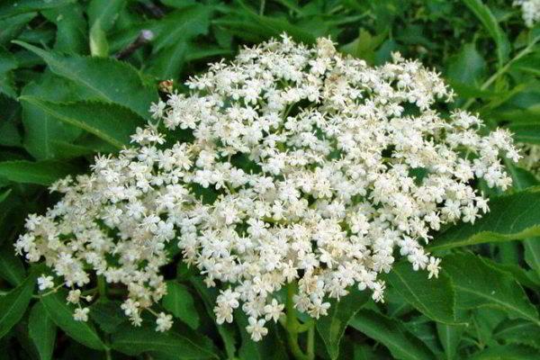 Цветы бузины черной лечебные свойства