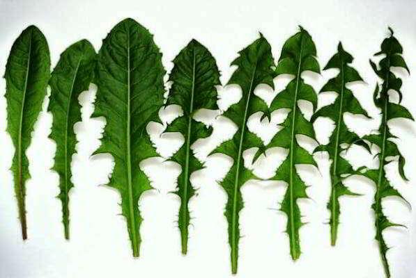 листья одуванчика лечебные свойства и противопоказания
