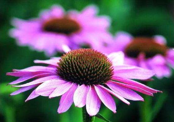 эхинацея пурпурная лечебные свойства
