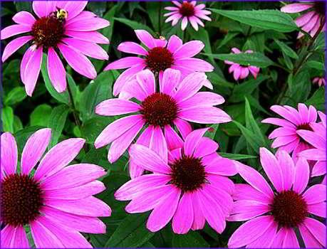 цветок эхинацея пурпурная