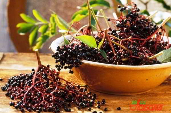 ягоды бузины черной лечебные свойства и противопоказания