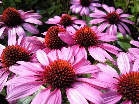 растение эхинацея пурпурная