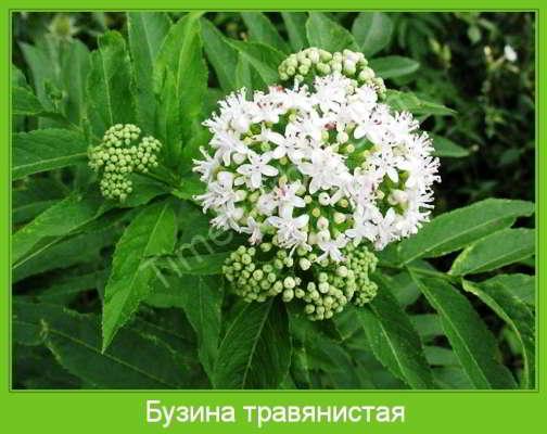 растение бузина травянистая