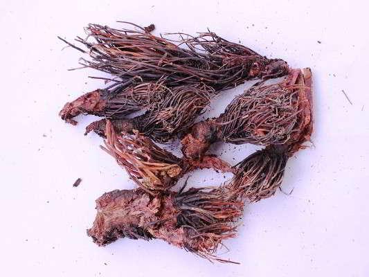 корень красной щетки лечебные свойства и противопоказания