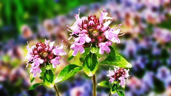 трава чабрец фото полезные свойства
