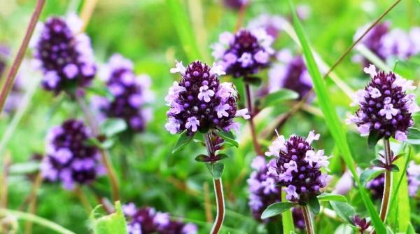 чабрец трава полезные свойства и противопоказания