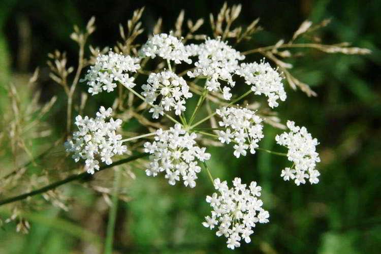 Трава бедренец камнеломка полезные и лечебные свойства, применение, рецепты