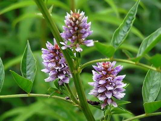 солодка растение