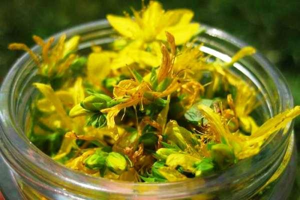 зверобой трава лечебные свойства