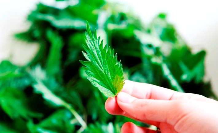 Крапива: лечебные свойства для женщин, мужчин, противопоказания к применению